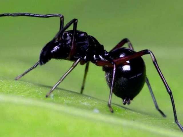 چیونٹی سے مشابہہ 'ٹاکسیئس میگنس' نامی مکڑی اپنے بچوں کو دودھ نما شے پلا کر پالتی ہے (فوٹو: چینی اکادمی برائے سائنس)