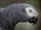 برطانیہ میں طوطے نے زبانی کئی اشیا کے آرڈر دے کر وہ چیزیں منگوانے کی کوشش کی ہے۔ فوٹو: فائل