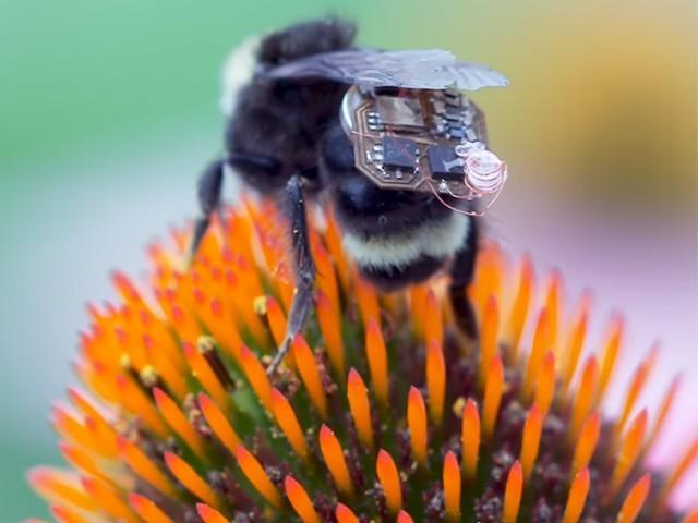 مکھیوں پر 70 ملی گرام الیکٹرانک آلات لگا کر ان سے کسی بھی علاقے کا ڈیٹا حاصل کیا جاسکتا ہے (فوٹو: اسکرین گریب)