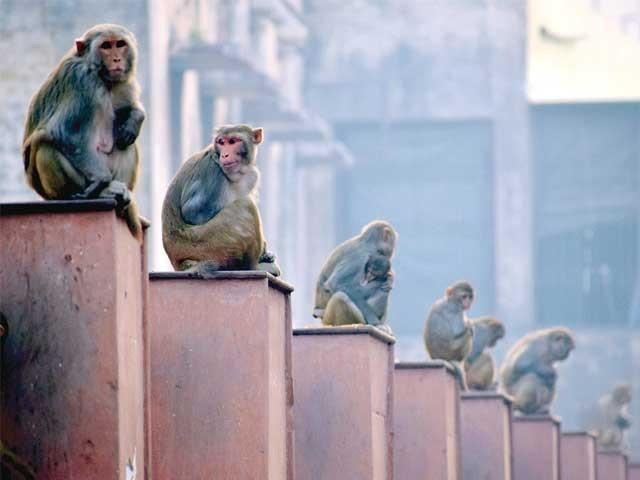 بندروں کی آنکھوں میں آنکھیں ڈال کر نہ دیکھیں اور کسی بندریا اور اس کے بچے کے بیچ آنے کی ہرگز کوشش نہ کریں۔  فوٹو: فائل