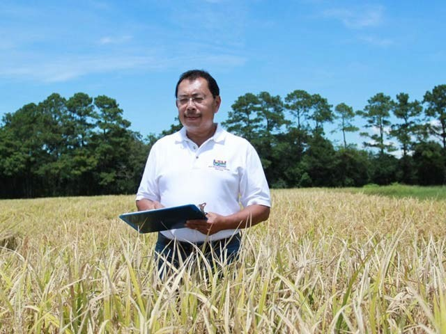 پروفیسر ہیری یوٹومو پروٹین سے بھرپور چاول کی فصل کا جائزہ لے رہے ہیں۔ فوٹو: بشکریہ لیوزیانا اسٹیٹ یونیورسٹی