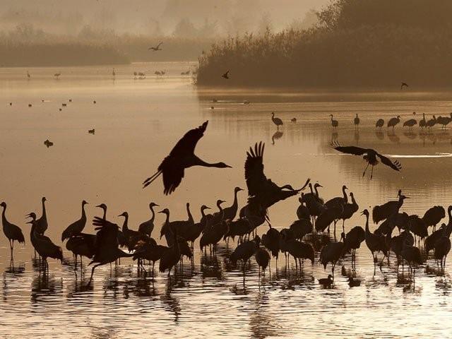 زولوجیکل سروے اور سندھ وائلڈ لائف کے مطابق سندھ کی جھیلوں تک آنے والے مہمان پرندوں کی تعداد میں 70 فیصد تک کمی واقع ہوئی ہے۔ فوٹو: فائل