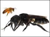 تصویر میں ایک جانب شہد کی مکھی ہے تو دوسری جانب سیاہ مکھی ہے جو کرہِ ارض پر پائی جانے والی سب سے بڑی مکھی بھی ہے۔ فوٹو: نیوسائنٹسٹ