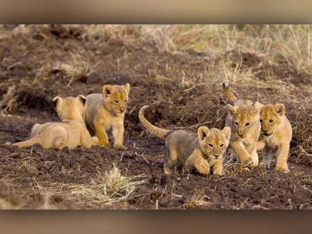 ڈیڑھ درجن شیر اور چیتوں کی کھیپ 22 اپریل کو لاہور پہنچنے کا امکان ہے۔ فوٹو:فائل