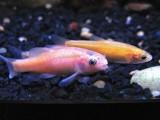 فیٹ ہیڈ مینو مچھلی کیمیائی عمل کے ذریعے دیگر مچھلیوں کو بھی خطرے سے خبردار کرتی ہیں (فوٹو: وکی میڈیا کامنز)