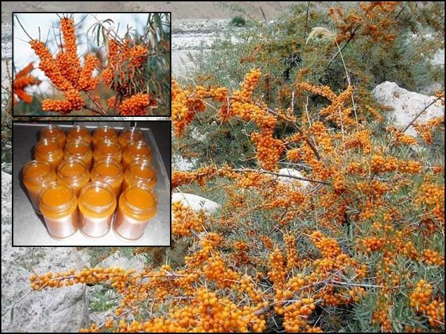 سی بک تھورن پاکستان کے شمالی علاقہ جات میں پائی جانے والی ایک جادوئی جھاڑی ہے۔ (فوٹو: بلاگر)