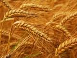 سخت گرمی میں آٹے اور گندم کی طلب کم ہو جاتی ہے، اضافہ باعث تشویش ہے، محمد انیس  فوٹو : فائل