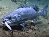 شارک کو سالم نگلنے والی مچھلی کا نام 'ریک فش' ہے اور اس کی جسامت بھی 8 فٹ بتائی جاتی ہے۔ (فوٹو: اسکرین گریب، نوآ ویڈیو کلپ)