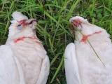 آسٹریلیاں میں درجنوں پرندوں کو زہردے کر مارا گیا جن کی آنکھوں اور چونچ سے خون ٹپک رہا تھا۔ فوٹو: دی گارجیئن