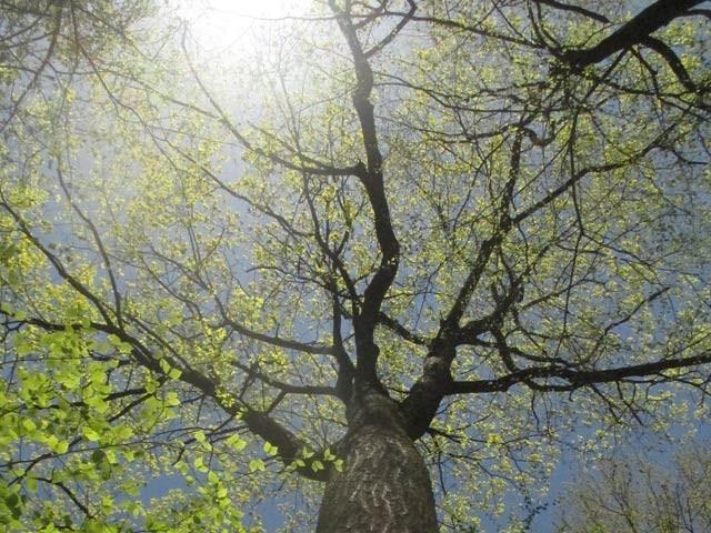 سرخ شاہِ بلوط کا یہ درخت روزانہ اپنی کیفیت کے متعلق ٹویٹ کرتا ہے۔ فوٹو: اٹلس اوبسکیورا