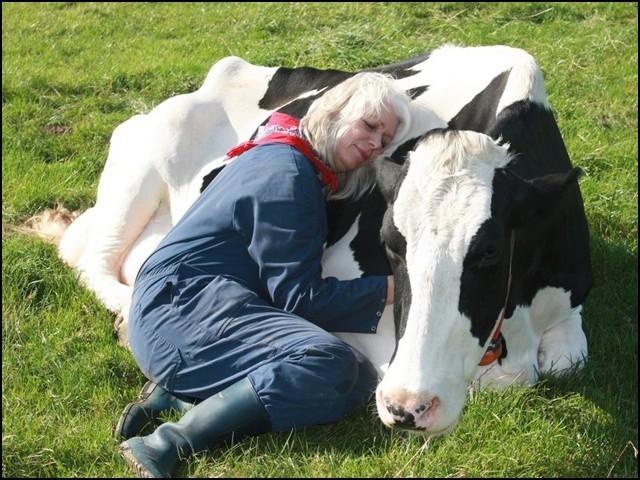 گائے کو پیار کرنا آپ کے ذہن پر اچھے اثرات مرتب کرتا ہے۔ (فوٹو: ماؤنٹین ہاؤس فارم)