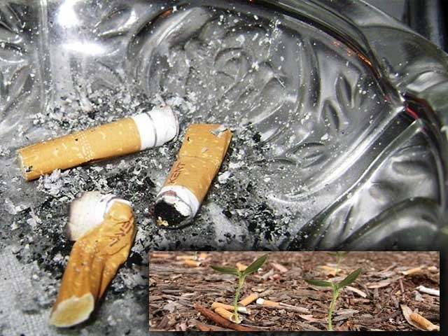 سگریٹ کے ٹوٹے (فلٹر) گھاس اور پودوں کی نشوونما کو متأثر کررہے ہیں