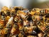 برازیل میں کیڑے مار دواؤں کے اندھا دھند استعمال سے اس سال کے نصف عرصے میں 50 کروڑ سے زائد شہد کی مکھیاں ہلاک ہوچکی ہیں (فوٹو: فائل)