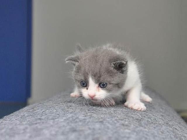 تصویر میں ڈیسوان (انگریزی نام گارلک) نامی بلی کا بچہ نمایاں ہے جسے چینی کمپنی نے 56 لاکھ روپے کے بدلے کلون کیا ہے۔ فوٹو: سائنوجین کمپنی