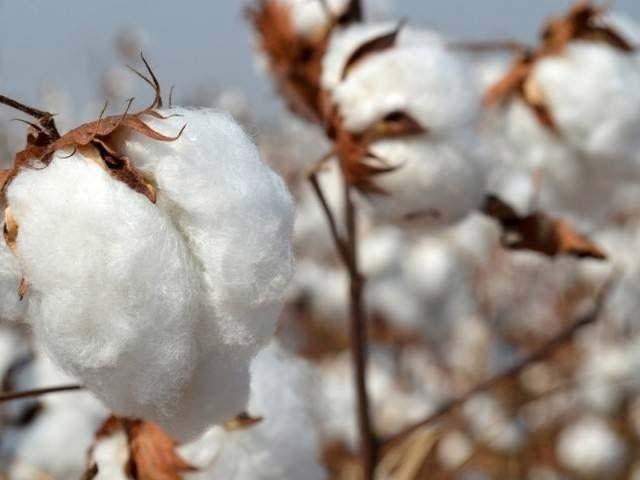 امریکا سے روئی درآمد نہ کرنے کے فیصلے سے پاکستان میں روئی کی قیمتوں میں غیرمعمولی تیزی کا رجحان غالب ہوگیاہے۔ فوٹو : فائل