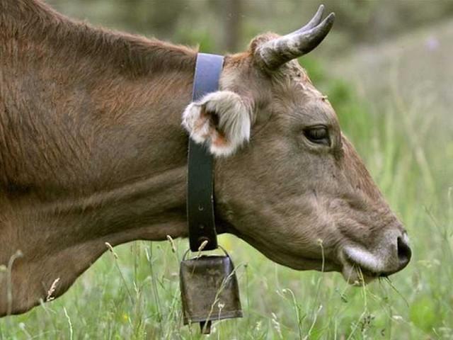 پولیس حیران ہے کہ آخر کوئی چور گائے کے گلے میں بندھی گھنٹیاں کیوں چرا رہا ہے۔ (فوٹو: انٹرنیٹ)