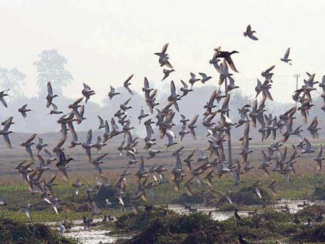 آنے والے دنوں میں لاکھوں پرندے پنجاب کا رخ کرینگے، ڈائریکٹرمحکمہ تحفظ جنگلی حیات