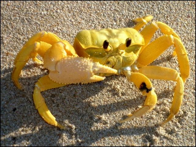زرد رنگ کا یہ عام سا سمندری کیکڑا خطِ استوا کے قریبی ساحلوں پر بکثرت پایا جاتا ہے۔ (فوٹو: انٹرنیٹ)