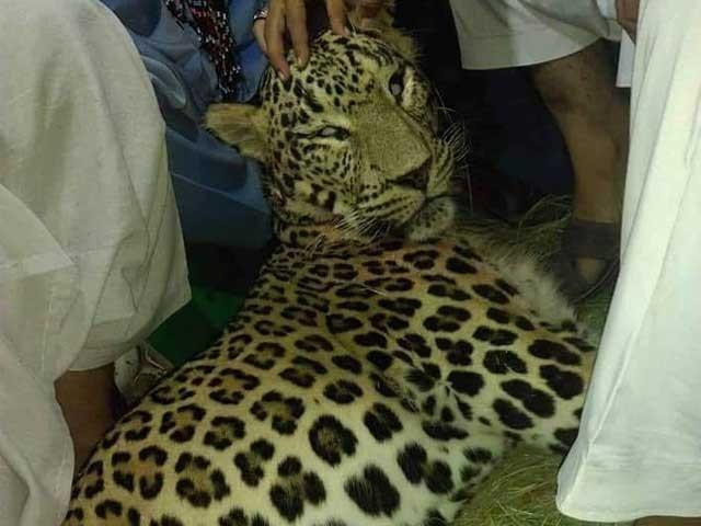 چیتے کو زندہ پکڑنے کی کوشش کی گئی لیکن مقامی قبائل پرحملہ کرنے پرمارا گیا، علاقہ مکین - فوٹو: ایکسپریس