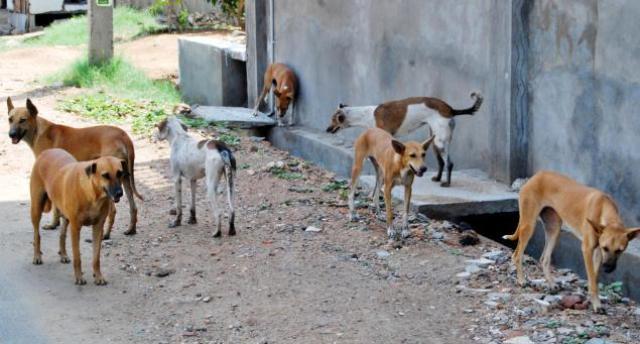 کتوں سے نجات کے لیے گولی مارنے کے بجائے نس بندی زیادہ مفید ہے، زیبا مسعود  فوٹو : فائل