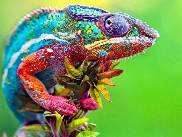 ایموری یونیورسٹی کے سائنسدانوں نے گرگٹ کا مشاہدہ کرتے ہوئے رنگ بدلنے والی مصنوعی جلد تیار کی ہے (فوٹو: فائل )