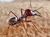 صحارا سلور آنٹ حشرات میں سب سے تیزرفتار جانداروں میں سے ایک ہے۔ فوٹو: نیوسائنٹسٹ