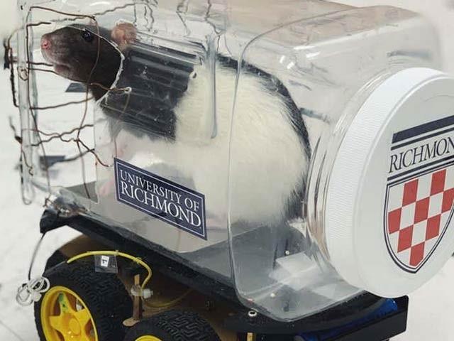 امریکی ماہرین نے اس کار میں چوہے کو بٹھاکر انہیں کھانے کی لالچ کے بدلے کار چلانا سکھائی اور ان پر کئ تجربات بھی کئے ہیں۔ فوٹو: نیوسائنٹسٹ