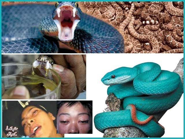 پاکستان میں سانپوں سے متعلقہ خطرات، اس سے بچنے کی تدابیر اور علاج کے حوالے سے معلوماتی فیچر
