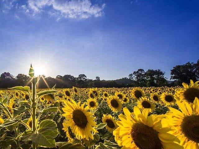 امریکی ماہرین نے سورج مکھی کے مصنوعی پھول بنائے ہیں جو روایتی اندازے کے مطابق 400 گنا زائد بجلی بناتے ہیں۔ فوٹو: فائل