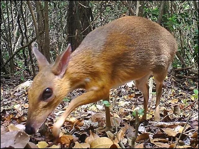 نہ یہ ہرن ہے اور نہ ہی چوہا، بلکہ دنیا کا سب سے چھوٹا کھر دار جانور ہے۔ (فوٹو: نیچر ایکولوجی اینڈ ایوولیوشن)