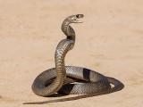 سانپ طالبہ کے بیگ سے نکل کر لیبارٹری میں رینگنے لگا۔ فوٹو: فائل