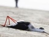راجستھان میں واقع جھیل سانبھر کے کنارے ہزاروں پرندے مردہ پائے گئے ہیں ۔ فوٹو: ڈاؤن ٹو ارتھ ویب سائٹ