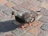 انسانی بال ماحول میں جاکر کبوتروں کے پنجوں سے الجھ کر انہیں مفلوج کررہے ہیں (فوٹو: فائل)