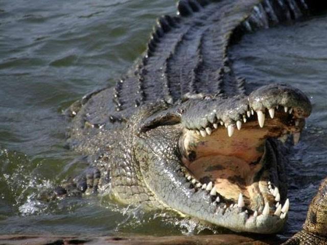 14 فٹ لمبے خطرناک مگر مچھ نے چھوٹی بہن کی ٹانگ کو دبوچ لیا تھا۔ فوٹو : فائل