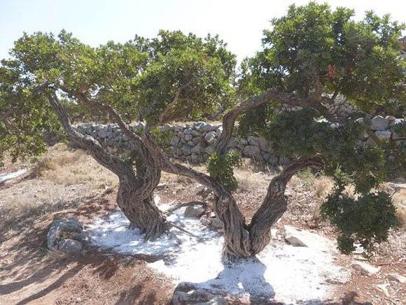 mastic tree 2