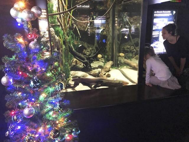 ٹینیسی ایکویریئم میں کرسمس ٹری روشن کرنے کے لیے الیکٹرک اِیل سے پیدا ہونے والی بجلی استعمال کی جارہی ہے۔ (تصاویر بحوالہ مگیل واٹسن آفیشل)