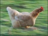 پولیس والے اس مرغی کے پیچھے دوڑتے رہے لیکن اسے پکڑنے میں ناکام رہے۔ (فوٹو: فائل)