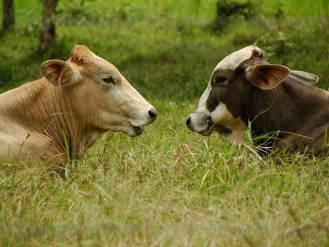 انسانوں کی طرح گائے بھی اپنی خاص آواز میں ایک دوسرے سے باتیں کرتی ہیں (فوٹو: فائل)
