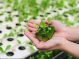 شیفلڈ یونیورسٹی کے ماہرین نے فوم پر سبزیاں اور پودے اگانے کا کامیاب تجربہ کیا ہے (فوٹو: شیفلڈ یونیورسٹی)