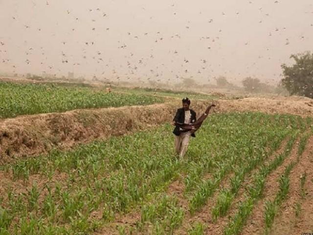 پاکستان کو 27سال بعد ٹڈی کے حملوں کا سامنا ہے۔(فوٹو، فائل)