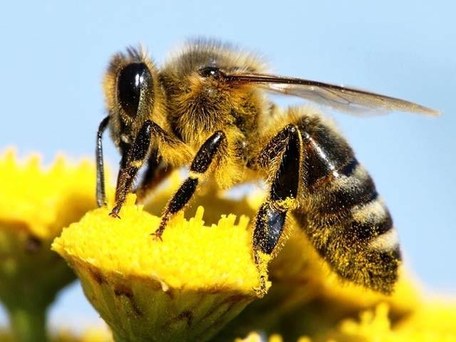 یونیورسٹی آف شیفلڈ نے مکھیوں پر تحقیق کا ایک پروگرام شروع کیا ہے جو ڈرون اور کاروں کی تیاری میں مددگار ہوگا۔ فوٹو: شیفلڈ یونیورسٹی