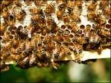 دوغلی نسل کی یہ مکھیاں غصے کی بہت تیز ہیں اور بار بار انسانوں پر حملہ آور ہوتی رہتی ہیں۔ (فوٹو: فائل)