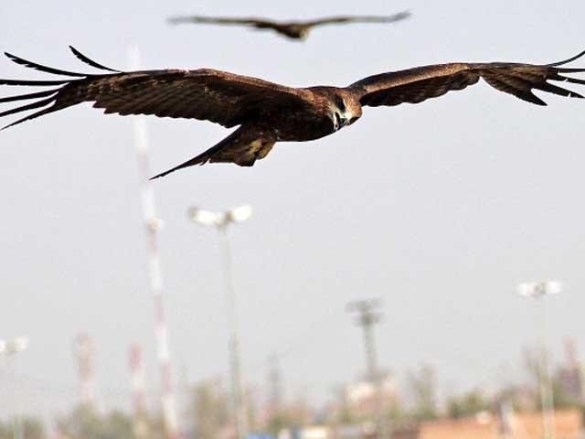 صدقے کے گوشت نے ان شکاری پرندوں کو خطرناک   بنادیا ہے فوٹوفائل