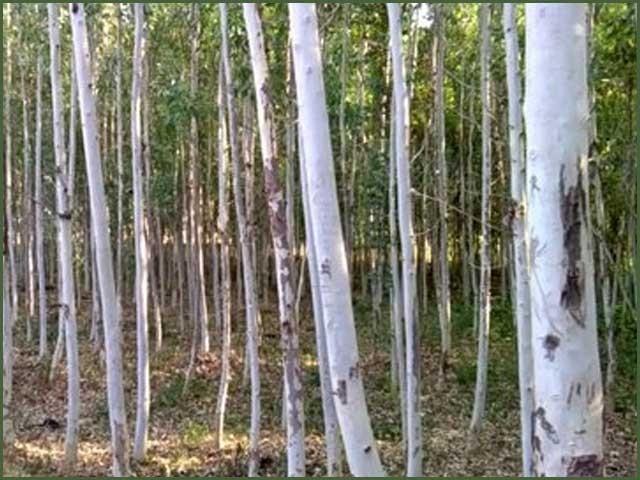 آزادکشمیر کا قیمتی درخت جو انسانی صحت اور ماحول کیلئے تباہ کن ثابت ہورہاہے
