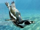 پینگوئن شکار کے وقت خاص آوازیں خارج کرتے ہیں۔ فوٹو: فائل