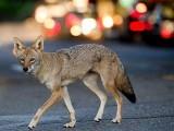 دنیا بھر میں انسان گھروں میں بند ہیں اور جانور دھیرے دھیرے آبادیوں کا رخ کررہے ہیں۔ فوٹو: فائل