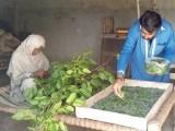 ریشم کے کیڑوں کا فضلہ بھی اچھے داموں فروخت ہوجاتا ہے فوٹو: ایکسپریس