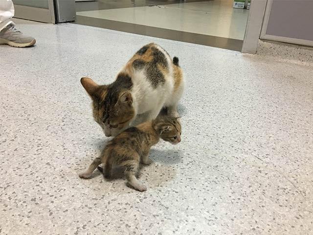 ترکی کے ایک ہسپتال میں بلی اپنے بچے کو لے آئی اور ہسپتال انتظامیہ نے اس کی بھرپور مدد کی ۔ فوٹو: اوڈٹی سینٹرل