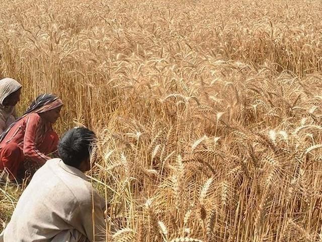 بلوچستان کو ایک سے ڈیڑھ کروڑ گندم کی بوریوں کی ضرورت ہے، پاکستان فلور ملز ایسوسی ایشن (فوٹو: فائل)