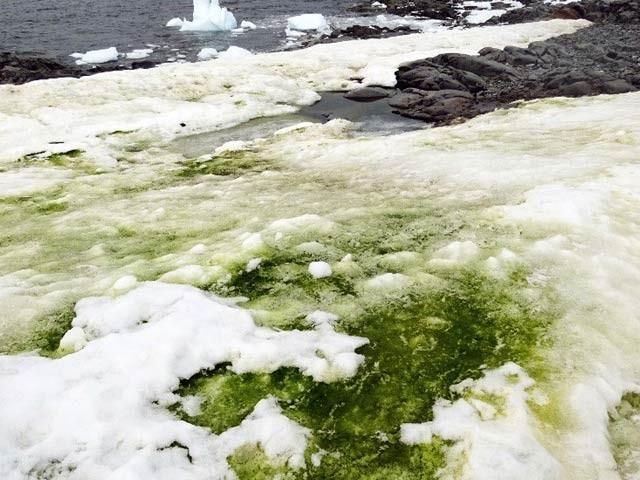 انٹارکٹیکا پر کئی مقامات پر سبز الجی تیزی سے بڑھ رہی ہے۔ فوٹو: سائنس الرٹ